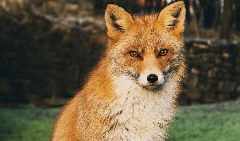 Een zittende vos die recht in de camera kijkt.