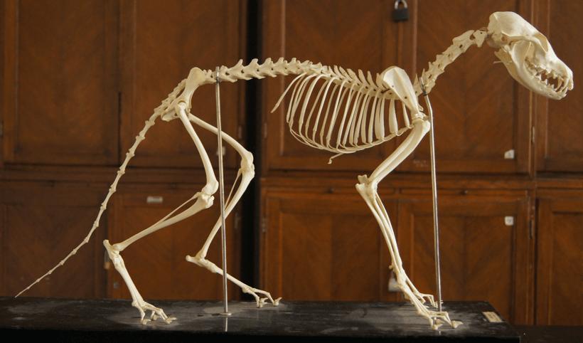 Een skelet van een vos in het museum